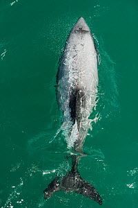 Hector's dolphin (Cephalorhynchus hectori) seen from directly above, Akaroa, Bank's Peninsula, South Island, New Zealand, November, endangered species - Mark Carwardine