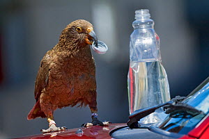 Kea (Nestor notabilis) breaking into water bottle Arthur's Pass, Southern Alps, South Island, New Zealand, November, threatened Species  -  Mark Carwardine