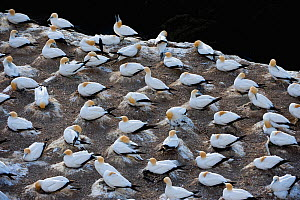 Australasian gannet / Takapu (Morus serrator) Muriwai gannet colony, Auckland, North Island, New Zealand, November  -  Mark Carwardine