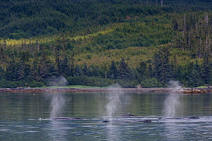 Humpback whales (Megaptera novaeangliae) three blowing / spouting at surface in unison, Southeast Alaska, USA August  -  Mark Carwardine
