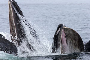 Humpback whales (Megaptera novaeangliae) bubble net and lunge feeding as a pod, cooperative hunting, Southeast Alaska, USA August  -  Mark Carwardine