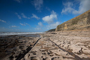 A wave cut platform, exploiting a relatively strong bed of Jurassic age Liassic limestone, with cliffs of Blue Lias in the background, Southerndown, Wales, UK October - Graham Eaton