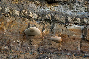 Cemented nodules within sandstones of the Jurassic, Bencliff grit, Osmington Mills, Dorset, UK. The cementation preferentially develops from a seed grain. The brown staining of the sandstone is oil, a... - Graham Eaton