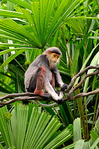 Red-shanked Douc langur (Pygathrix nemaeus). Captive, occurs in Cambodia, Lao People's Democratic Republic and Vietnam. Endangered species. - Daniel  Heuclin