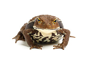 Japanese common toad (Bufo japonicus) on white background, captive occurs in Japan. - Chris Mattison