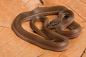 Lined house snake (Boaedon lineatus) captive, occurs in West Africa  -  Chris Mattison