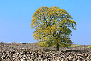 Oak (Quercus sp), and dry stone walls, Litton, Peak District National Park, Derbyshire, UK, May. - Chris Mattison