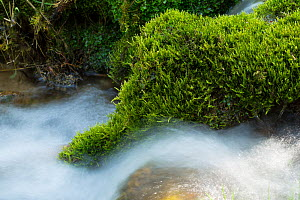 Cypress-leaved plait moss (Bryum capillare) at edge of a small stream.  Peak District National Park, Derbyshire, UK, May. - Chris Mattison