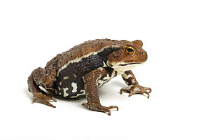 Japanese common toad (Bufo japonicus) on white background, captive, occurs in Japan. - Chris Mattison