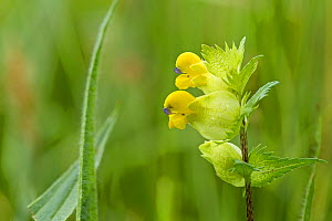 Yellow rattle (Rhinanthus minor)   New Grove Meadows, Monmouthshire, Wales. - Chris Mattison