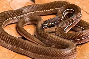 Lined house snake (Boaedon lineatus) captive, occurs in West Africa.  -  Chris Mattison