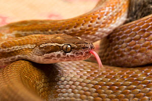 Cape house snake (Boadedon capensis) using tongue to taste the air. Captive from South Africa.  -  Chris Mattison