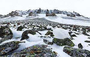 Ptarmigans (Lagopus mutus) in white winter plumage, camouflaged against mountain scree with snow, Spitsbergen, Svalbard, Norway, April. Highly commended in the Animals in their Environment Category of...  -  Espen Bergersen