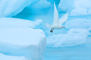 Ivory gull (Pagophila eburnea) rflying from sea ice in the Arctic Ocean, Svalbard Islands, Norway, July  -  Oriol  Alamany