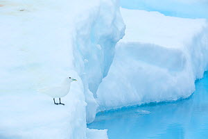 Ivory gull (Pagophila eburnea) resting on sea ice in the Arctic Ocean, Svalbard Islands, Norway, July  -  Oriol  Alamany