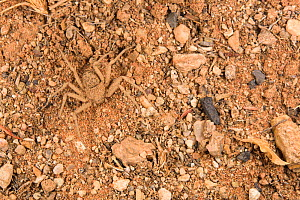Spider (Sicarius sp) well camouflaged against the background thanks to the dust on its body, Namibia - Emanuele Biggi
