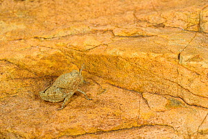 Toad grasshopper (Lamarckiana sp), young specimen very well camouflaged on a rock, Karoo region, South Africa  -  Emanuele Biggi