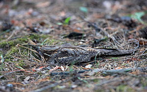 Nightjar (Caprimulgus europaeus) nesting on ground, Hungary May - Markus Varesvuo