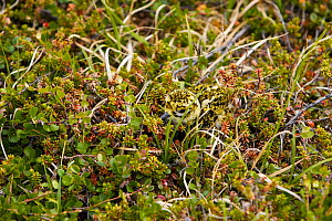 Golden plover (Pluvialis apricaria) chick camouflaged in ground nest, Norway June - Markus Varesvuo