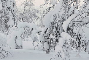 Willow grouse (Lagopus lagopus) extremely well camouflaged below snow laden tree, Inari Kiilopaa Finland January Highly commended in the Bird category of the Asferico Photography Competition 2017.  -  Markus Varesvuo