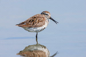 Dunlin (Calidris alpina pacifica) adult moulting into breeding  plumage on northerly migration to breeding grounds.  Flexing bill tips also known as Rhyncokinesis. Estero Lagoon,  Florida, USA. April.  -  Melvin Grey