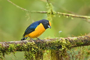 Orange-bellied euphonia (Euphonia xanthogaster) adult male, feeding on rainforest branch. Mindo Loma, Ecuador  -  Melvin Grey