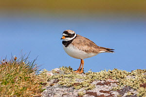 Ringed plover (Charadrius hiaticula) adult male, North Uist,  Outer Hebrides,  Scotland, UK, May.  -  Melvin Grey