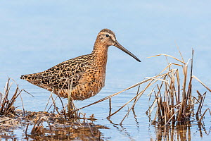 Short-billed dowitcher  (Limnodromus griseus) adult, Churchill, Manitoba, Canada, May. - Melvin Grey