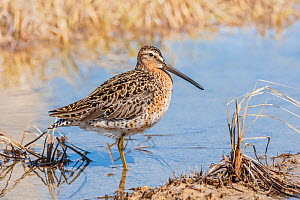 Short-billed dowitcher (Limnodromus griseus) adult,       Churchill, Manitoba, Canada - Melvin Grey