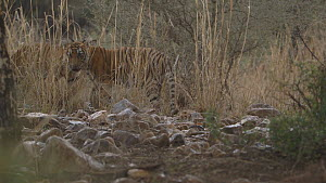 Bengal tiger (Panthera tigris tigris) cub with dead Nilgai (Boselaphus tragocamelus), walks away and greets another cub that walks back to feed, Ranthambore National Park, Rajasthan, India. 2016.  -  Sandesh  Kadur