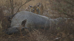 Bengal tiger (Panthera tigris tigris) cub in the rain, with dead Nilgai (Boselaphus tragocamelus), Ranthambore National Park, Rajasthan, India. 2016.  -  Sandesh  Kadur