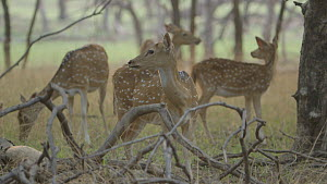 Tilt shot down to a group of female Chital deer (Axis axis) grazing and looking around, Ranthambore National Park, Rajasthan, India. 2016. - Sandesh  Kadur