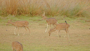 Group of Chital deer (Axis axis) grazing, Ranthambore National Park, Rajasthan, India. 2016. - Sandesh  Kadur