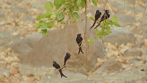 Group of Black drongos (Dicrurus adsimilis) perched on branches with their beaks open thermoregulating, Ranthambore National Park, Rajasthan, India. 2016.  -  Sandesh  Kadur