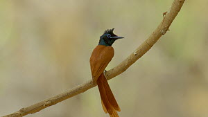 Tilt shot up to a male Asian paradise flycatcher (Terpsiphone paradisi) perched on a branch, Ranthambore National Park, Rajasthan, India. 2016.  -  Sandesh  Kadur