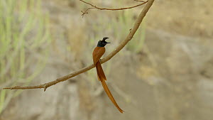 Male Asian paradise flycatcher (Terpsiphone paradisi) perched on a branch, Ranthambore National Park, Rajasthan, India. 2016.  -  Sandesh  Kadur