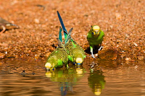 Budgerigar (Melopsittacus undulatus) group of three (one male and two females) at waterhole,  Western Australia. - Roland  Seitre