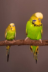 Budgerigar (Melopsittacus undulatus) comparison between two adult males, with wild variety on the right and domestic variety on the left. - Roland  Seitre