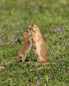 Black-tailed prairie dog (Cynomys ludovicianus) youngster  with an adult, Parker, Colorado, USA, May. - Charlie  Summers