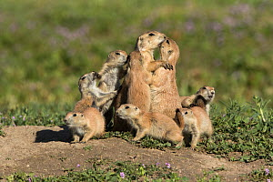 Western black-tailed prairie dog (Cynomys ludovicianus) youngsters crowd around nursing mother. Colorado, USA, May. - Charlie  Summers