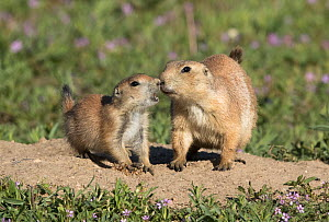 Black-tailed prairie dog (Cynomys ludovicianus) interacting, Parker, Colorado, USA, May. - Charlie  Summers