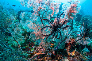 RF- Gorgonians and crinoids on coral reef.  Indonesia. (This image may be licensed either as rights managed or royalty free.) - Georgette Douwma