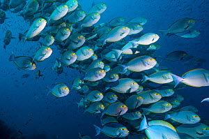 RF- Elongate surgeonfish (Acanthurus mata) school.  Indonesia. (This image may be licensed either as rights managed or royalty free.)  -  Georgette Douwma