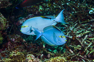 RF- Elongate surgeonfish (Acanthurus mata) being cleaned by Black spot cleaner wrasse (Labroides pectoralis) and  Bluestreak cleaner wrasse (Labroides dimidiatus).  Indonesia. (This image may be licen... - Georgette Douwma