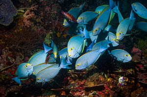 Elongate surgeonfish (Acanthurus mata) at a cleaning station with Diana wrasses (Bodianus diana).  Indonesia.  -  Georgette Douwma