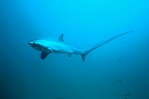 RF - Thresher shark (Alopias pelagicus) swimming over seabed,  Malaspascua, Philippines. (This image may be licensed either as rights managed or royalty free.) - Georgette Douwma