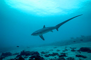 Thresher shark (Alopias pelagicus) swimming over seabed to be cleaned by cleaner wrasses, Cebu, Malaspascua, Philippines, September  -  Georgette Douwma