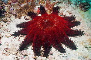 Crown of thorns starfish (Acanthaster planci)  Malapascua Island, Philippines, September  -  Georgette Douwma