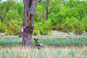 African wild dogs (Lycaon pictus) chasing a Leopard (Panthera pardus) which climbs up a tree to take refuge. Hwange National Park, Zimbabwe. Sequence 1 of 4. - Eric Baccega