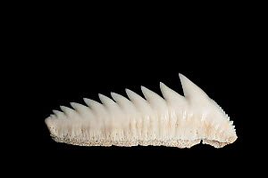 Sixgill or Cow shark (Hexanchus griseus) tooth row from lower jaw on display at Oceanographic Museum of Monaco, Principality of Monaco (digitally modified) - Doug Perrine